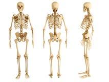 Mänskligt skelett royaltyfri illustrationer