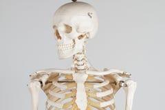 mänskligt skelett Arkivbild
