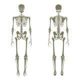 mänskligt skelett Didaktiskt bräde av anatomi av det mänskliga beniga systemet Det mänskliga skelett- systemet, främre och bakre  Royaltyfri Foto