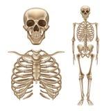 Mänskligt skelett för vektor 3d, benskallerygg vektor illustrationer