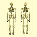 Mänskligt skelett, främre och bakre sikt Royaltyfria Foton