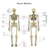 Mänskligt skelett, främre och bakre sikt med explanatations Arkivfoto