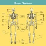 Mänskligt skelett, främre och bakre sikt med förklaringar Fotografering för Bildbyråer