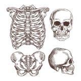 Mänskligt skelett inristad uppsättning Stödbur, skalle också vektor för coreldrawillustration stock illustrationer