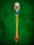 Mänskligt skelett M-SK-POSE Bb-56-17, ryggrad, modell 3D Fotografering för Bildbyråer