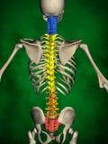 Mänskligt skelett M-SK-POSE Bb-56-14, ryggrad, modell 3D stock illustrationer