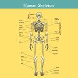 Mänskligt skelett med förklaringar Royaltyfri Fotografi