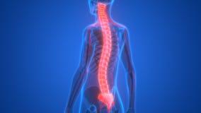 Mänskligt skelett med nervsystemet stock illustrationer