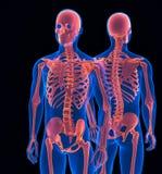 Mänskligt skelett- upp Framdel- och baksidasikt Innehåller den snabba banan Arkivfoto
