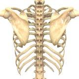 Mänskligt skelett- system (benanatomi) vektor illustrationer