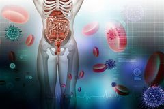 mänskligt system för digestivkex vektor illustrationer