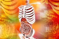 mänskligt system för digestivkex Royaltyfri Bild