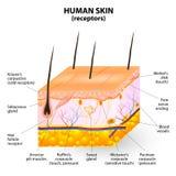 Mänskligt tvärsnitt för hudlagervektor Arkivbild