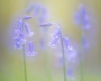 Märchenbild von wilden Blumen der blauen Glocken des Frühlinges Lizenzfreie Stockfotografie