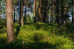 Märchenwaldsonnenlicht und -schatten, Kiefer und grüne gras Lizenzfreie Stockfotografie