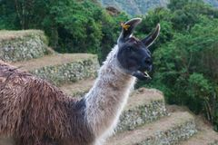 Märkt Alpaca på en lantbrukterrass på Inca Trail till Machu Picchu royaltyfria bilder