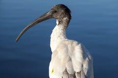Märkt australiensisk vit Ibis (threskiornisen molucca) Fotografering för Bildbyråer