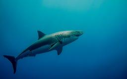 Märkt stor vit haj i det blåa havet Fotografering för Bildbyråer