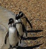 März der Pinguine stockbild