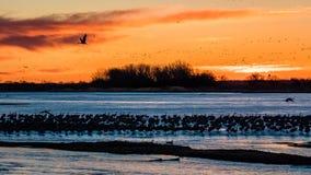 8. März 2017 - sind wanderndes Wassergeflügel der großartigen Insel, Nebraska - PLATTE-FLUSSES, VEREINIGTE STAATEN und Sandhill-K stockbild