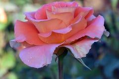 Mässingsmusikband Rose Profile Royaltyfria Bilder