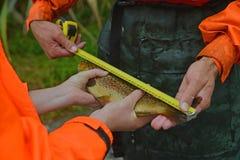 Mäta fisken Arkivfoton