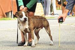 Mäta tillväxten av en hund Royaltyfria Foton