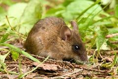 mäuse Stockbilder