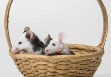 Mäuse im Korb Stockfoto