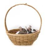 Mäuse im Korb Lizenzfreies Stockfoto