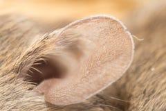 Mäuseohr abschluß Stockfoto