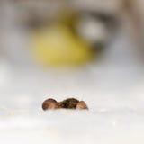 Mäuseohren und Meisegeist Stockbild