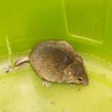 Mäusetier streichelt das wilde Säugetier Lizenzfreies Stockbild