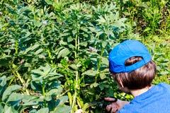 Młoda chłopiec w ogrodowego zrywania szerokich fasolach Dzieci uprawiać ogródek Zdrowy życia i natury edukacji pojęcie obraz royalty free