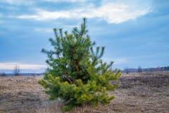 Młoda sosna, conifer, osamotniony, w otwartym polu w wiośnie, zdjęcia royalty free