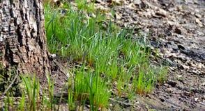 Młoda zielona trawa obudzi w wczesnej wiośnie zdjęcie royalty free