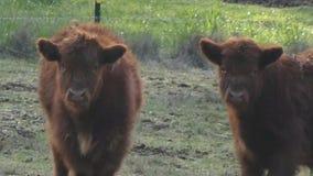Młode górskie krowy stoi w polu zdjęcie wideo