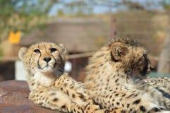 Młody śliczny geparda portret podczas safari w gemowej rezerwie w Południowa Afryka zdjęcie stock