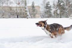 Młodzi energiczni trakenu psa spacery zdjęcia royalty free