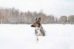 Młodzi energiczni trakenu psa spacery fotografia royalty free