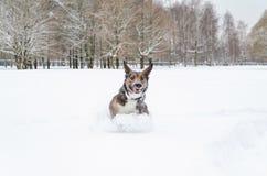 Młodzi energiczni trakenu psa spacery obrazy stock