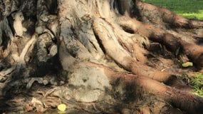 Młodzi I Starzy Drzewni korzenie I Drzewna barkentyna Z Zieloną trawą obraz royalty free