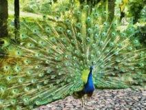 Måla av en påfågel i en trädgård royaltyfri illustrationer