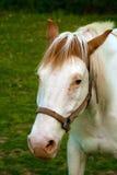 Måla hästen Arkivfoton