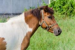 Måla hästen Arkivfoto