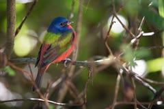 Målad Bunting på Merritt Island National Wildlife Refuge, Florida royaltyfri foto