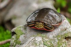 Målad Closeup för sköldpadda (Chrysemyspicta) Arkivbilder