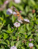 Målad dam Butterfly Arkivbild