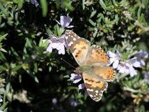 Målad dam Butterfly Fotografering för Bildbyråer