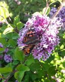 Målad dam Butterfly Feeding av purpurfärgade lila Bush Royaltyfri Fotografi